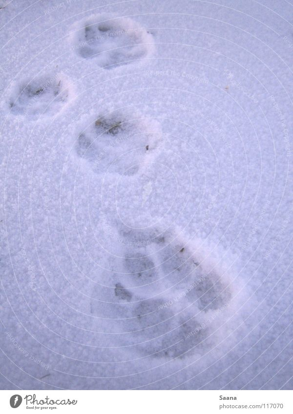 White Winter Animal Cold Snow Dog Cat Tracks Mammal Paw Stride