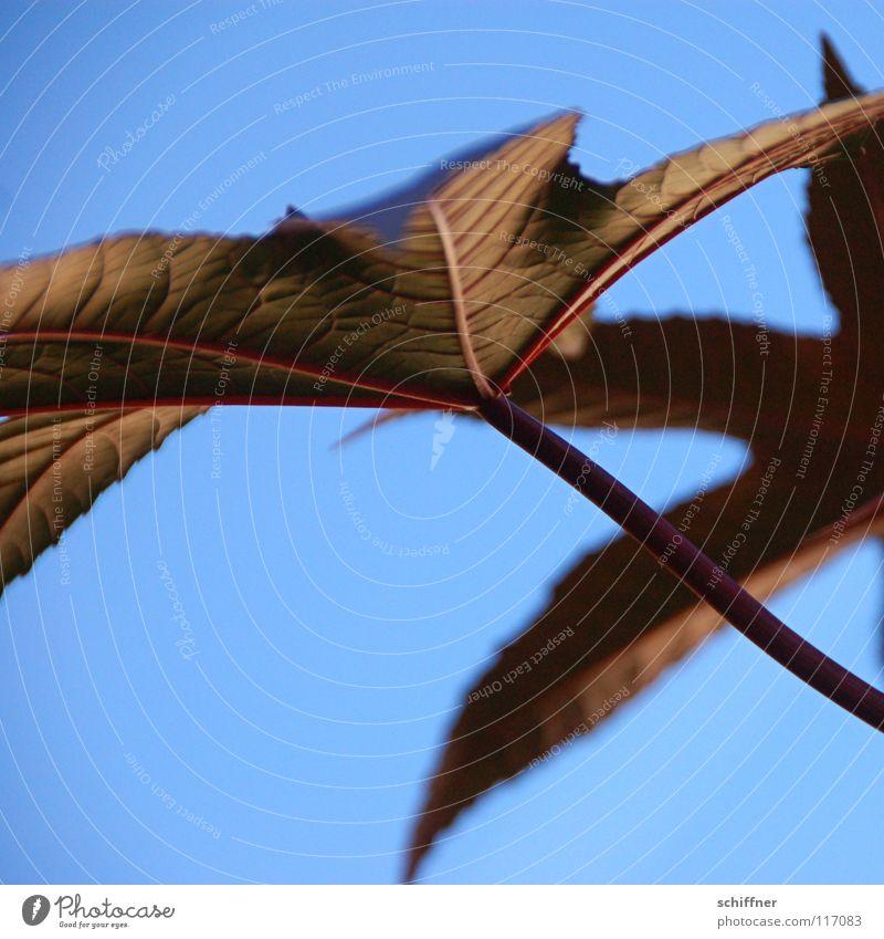 Sky Blue Plant Summer Leaf Garden Park Stalk Prongs Ornamental plant Euphorbiaceae Ricinus