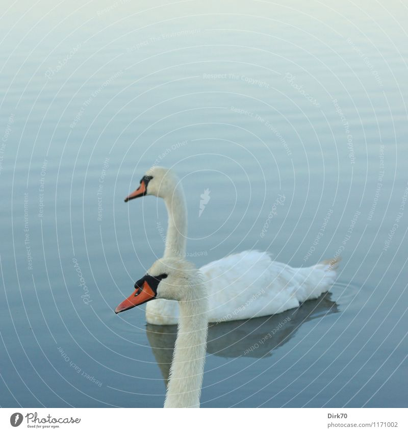swan double Water Summer Beautiful weather Waves Pond Lake Animal Wild animal Bird Swan Mute swan 2 Pair of animals Swimming & Bathing Relaxation Together Blue