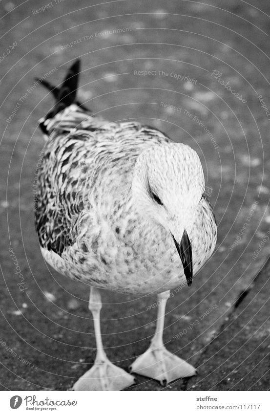 Seagull III: The fixation of prey Bird Black White Aerodynamics Summer Feather Investigation Discover Circle Airy Gull birds Black-headed gull  Beak Cute Grief