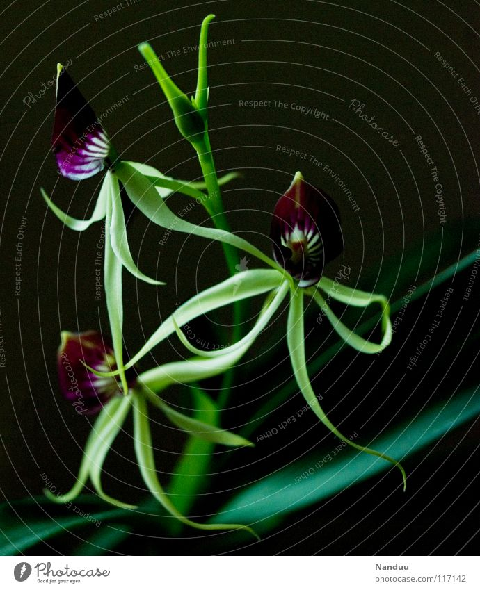 Green Beautiful Plant Flower Blossom Exceptional Transience Violet Blossoming Virgin forest Whimsical Exotic Strange South America Orchid Delicate