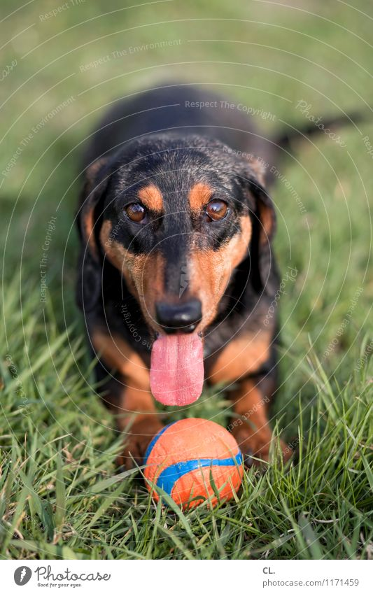 play instinct Joy Leisure and hobbies Playing Beautiful weather Grass Meadow Animal Pet Dog Animal face Dachshund Tongue 1 Ball Happiness Healthy Happy
