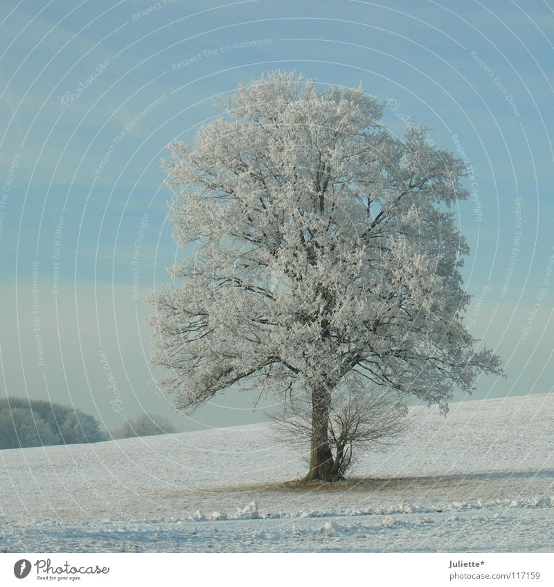 Beautiful White Tree Blue Winter Loneliness Far-off places Cold Snow Ice Frost To go for a walk