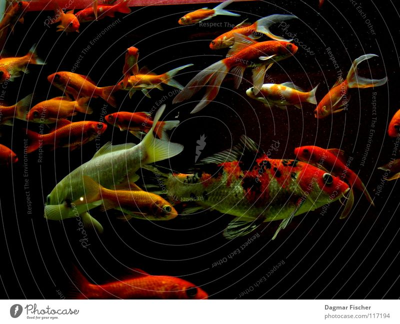 Water Red Ocean Animal Yellow Life Lake Friendship Together Orange Wet Gold Fish Multiple Swimming & Bathing Dive