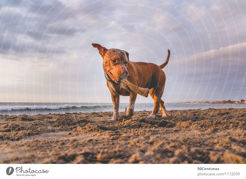pitbull on the beach Luxury Elegant Style Happy Leisure and hobbies Vacation & Travel Summer Summer vacation Beach Nature Clouds Sunrise Sunset