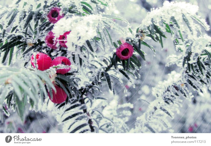 Recently in the magic forest Christmas & Advent Winter Snow White Fir tree Fir needle Red Pink Rawanberry Coniferous trees Frost Ice Ice age Hoar frost Frozen