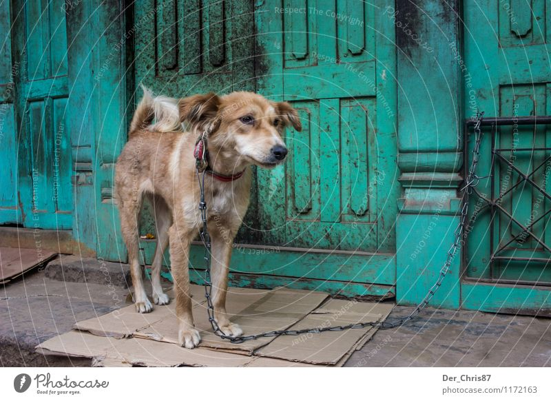 Street dog in Nepal Tourism Far-off places Kathmandu Asia Outskirts Old town Door Animal Pet Wild animal Dog 1 Observe Looking Wait Poverty Dirty Emotions Moody