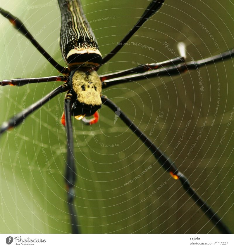 Nature Animal Head Legs Wait Net Hind quarters Asia Virgin forest Spider Fate Spider's web Singapore Spider legs