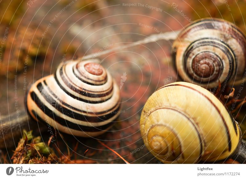 Snail Bang Animal Wild animal 3 Performance Snail shell House (Residential Structure) Stripe Yellow Striped Colour photo Subdued colour Exterior shot