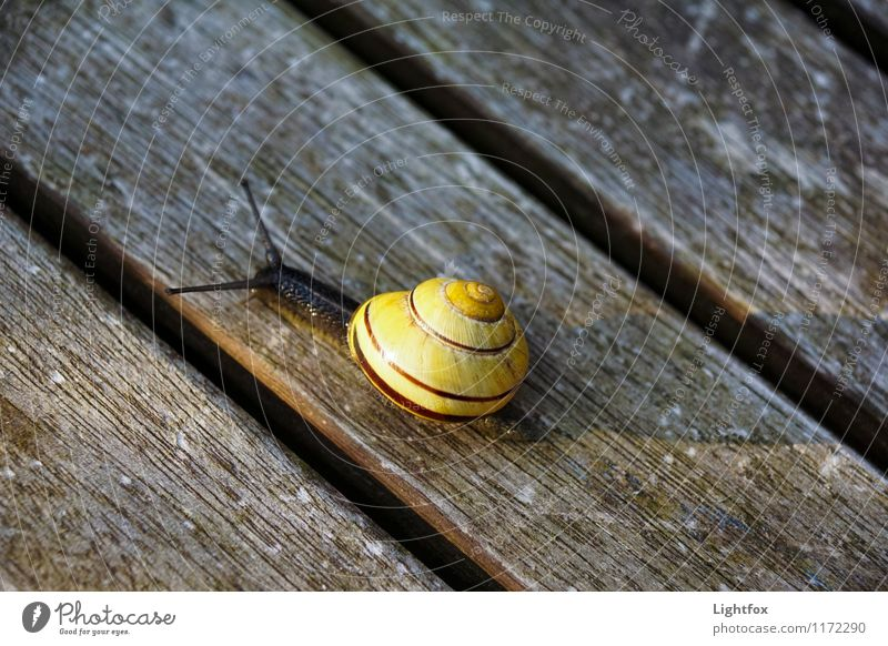Schnecklige Schnucklige Animal Snail 1 Old Crawl Athletic Boredom Wooden board Yellow Mucus Feeler Slowly House (Residential Structure) Essen Colour photo