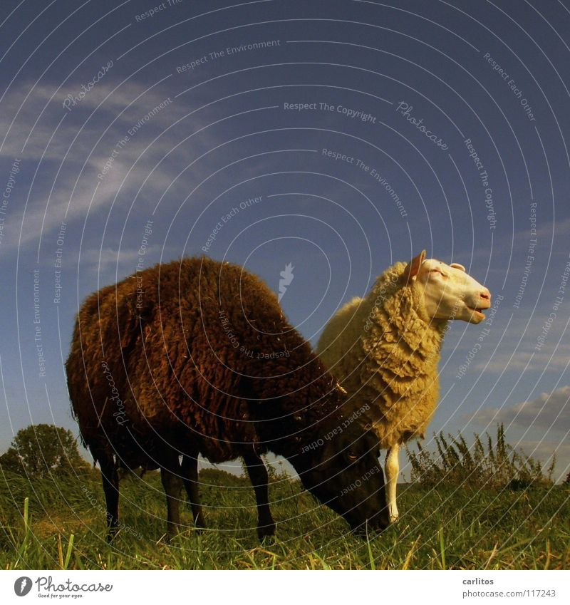 The black sheep of the family Sheep Black Black sheep Outsider Pasture Blue sky Bright background Copy Space top Cattle breeding Livestock breeding
