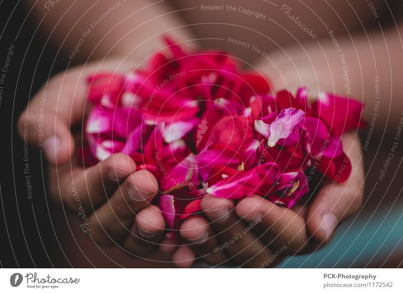 rose hand Feminine Hand Rose Blossom To hold on Beautiful Pink Red rose petals Stop Offer Thank abundance blossoms Colour photo Multicoloured Exterior shot