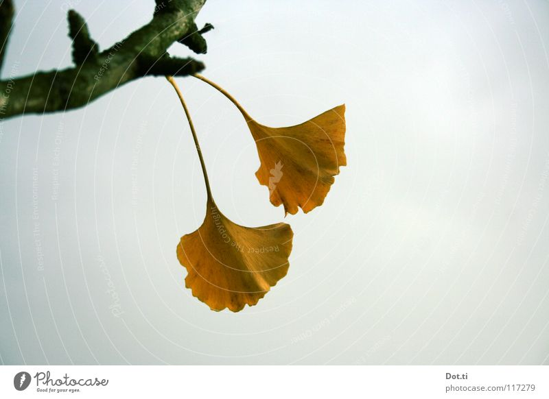 gymnosperms Exotic Nature Plant Sky Clouds Autumn Tree Leaf Yellow Gray Ginko Stalk Dreary Botany Medicinal plant Asia China Wonders of nature living fossil