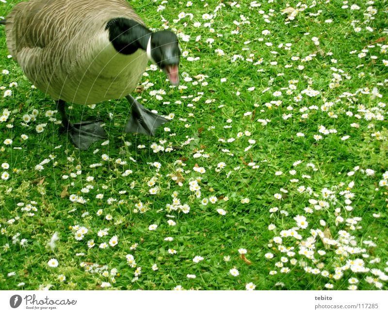 Duck good, all good Goose Meadow Flower Animal Bird Green Anger Aggravation chatter