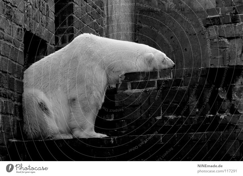 without you ... Polar Bear Zoo Brick Enclosure Leipzig White Black Grief Moody Longing Lovesickness Dependence Sleeping place Pelt Soft Cuddling Cuddly Cold Ice