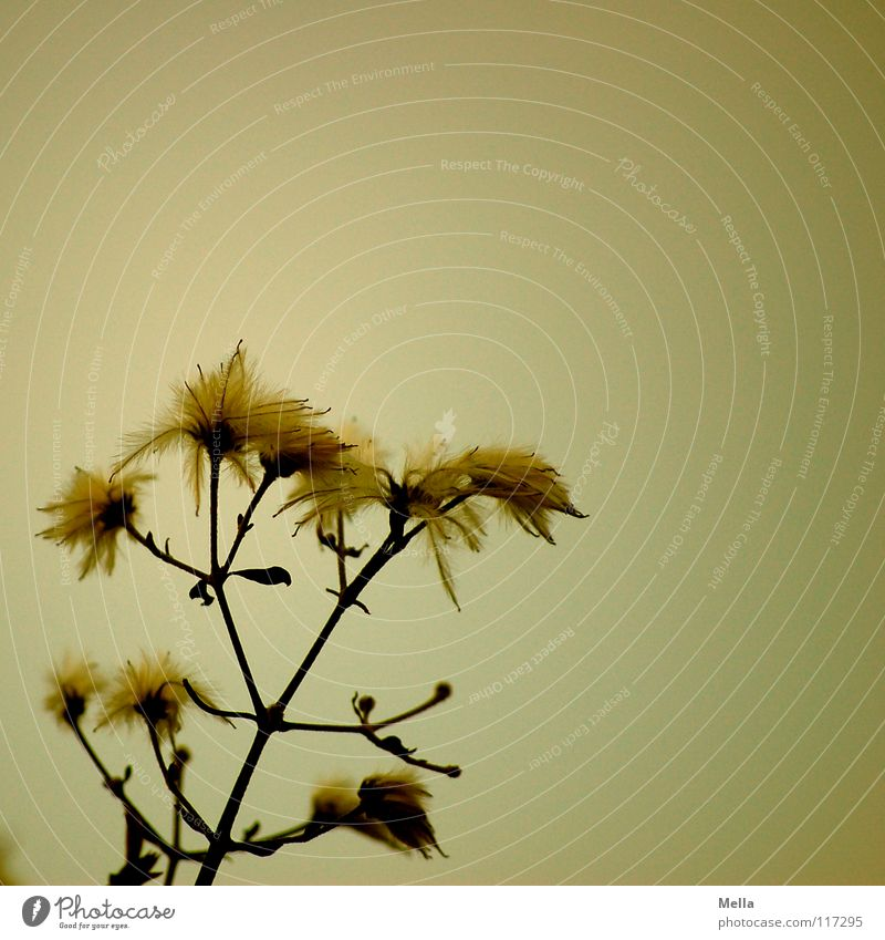 Plant Yellow Blossom Easy Faded Dreary Tuft Disheveled Bright background