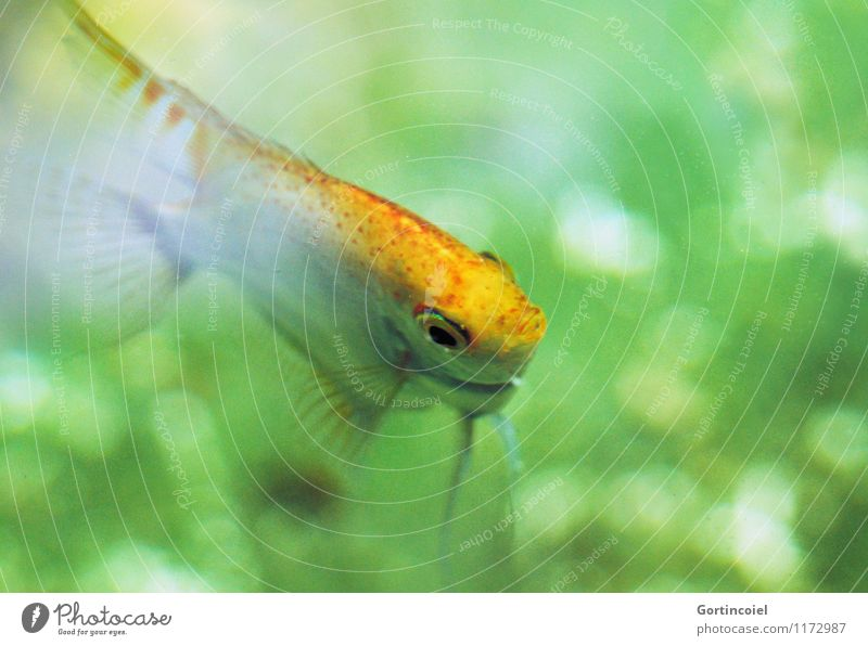 Green Animal Yellow Swimming & Bathing Fish Animal face Aquarium Fin