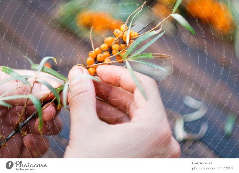 Summer Hand Autumn Healthy Fruit Orange Fresh Delicious Harvest Berries Pick Plucking Berry bushes Sallow thorn Vitamin C Sallow thorn leaf