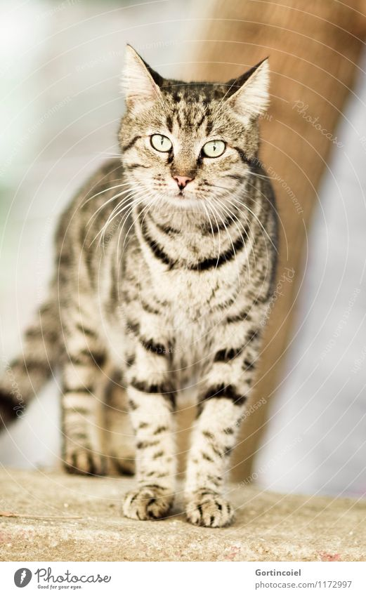 wild Town Wild animal Cat Animal face Pelt Paw 1 Curiosity Beautiful Street cat Prowl Tiger skin pattern Istanbul Colour photo Subdued colour Exterior shot