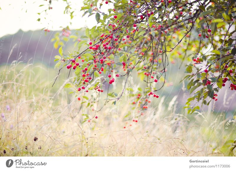 cherry Environment Nature Landscape Plant Summer Beautiful weather Tree Agricultural crop Meadow Natural Cherry tree Fruit trees France Alsace Colour photo