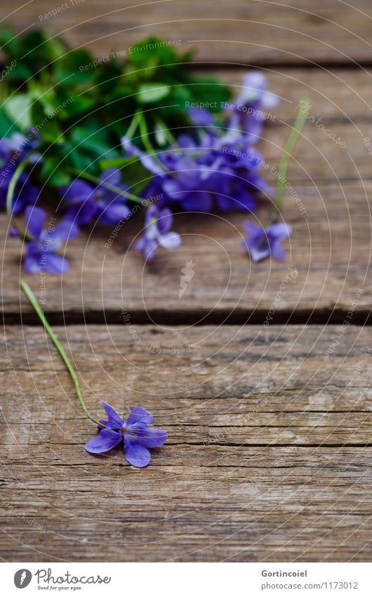 Plant Beautiful Summer Flower Spring Blossom Decoration Violet Wooden table Violet plants