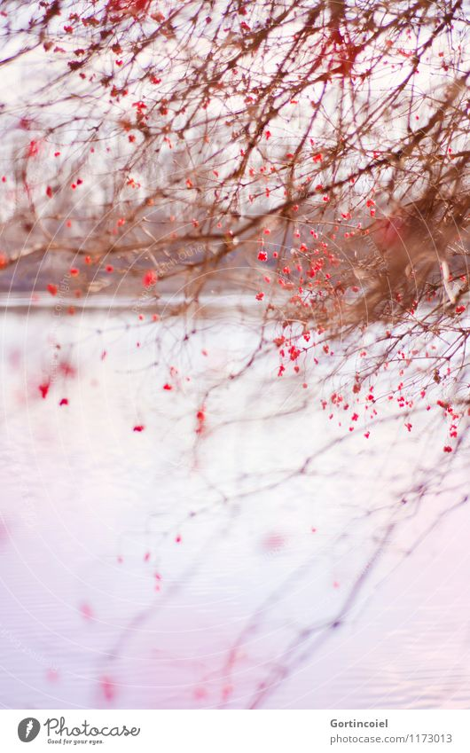 Nature Plant Beautiful Tree Red Landscape Winter Environment Lake Arrangement Bushes Lakeside Chaos Berries Muddled Focal point