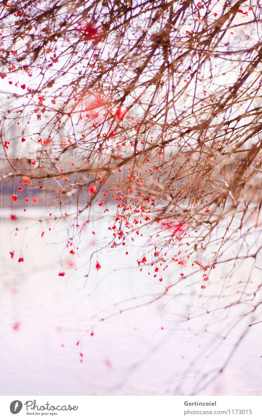 muddled Environment Nature Landscape Winter Tree Bushes Lakeside Beautiful Red Berries Berry bushes Arrangement Chaos Muddled Guelder rose Colour photo
