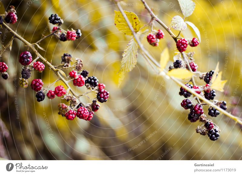 bramble bush Fruit Environment Nature Summer Autumn Bushes Forest Fresh Delicious Sweet Blackberry Blackberry bush Blackberry leaf Immature Mature Berries