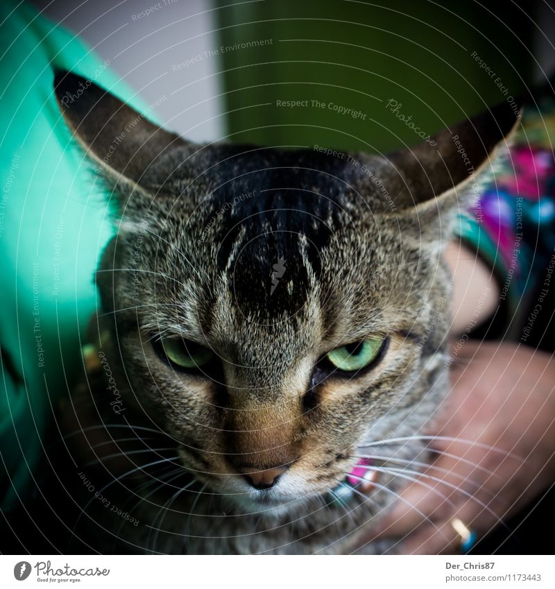 Grim Cat Animal Pet Animal face 1 Observe Touch Think Threat Smart Anger Green Emotions Love of animals Aggravation Grouchy Animosity Frustration Defiant
