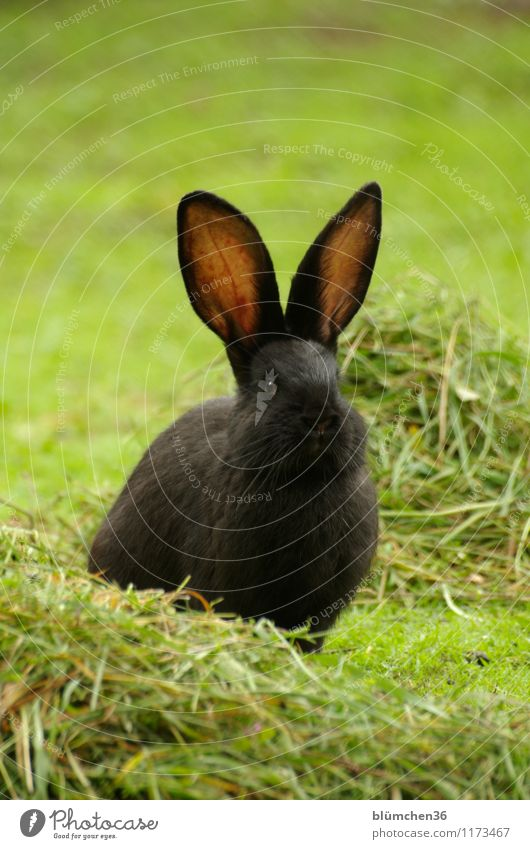 Hearing makes beautiful! Animal Pet Pelt Hare & Rabbit & Bunny Hare ears Rabbit's foot Mammal Observe Listening Sit Wait Friendliness Beautiful Natural Cute