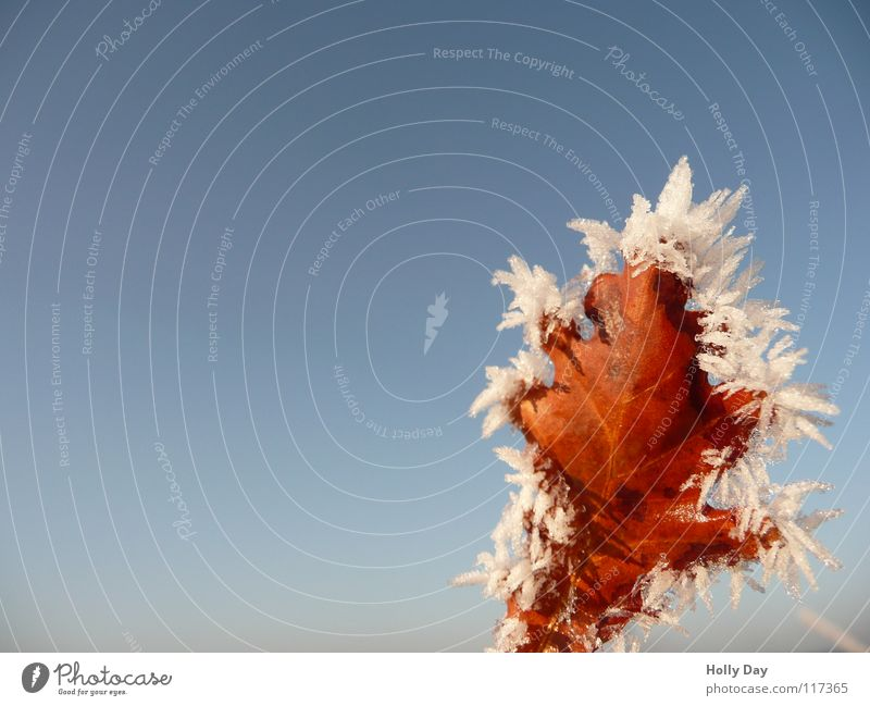 frost leaf Leaf Brown Beautiful Cold Winter Tree Sky Blue Frost Ice Death Pallid Blue sky Snow