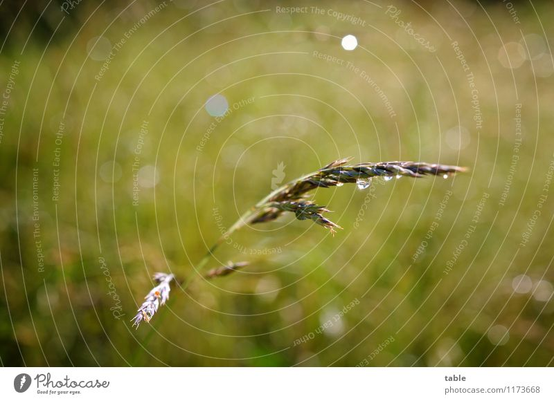 blade of grass Environment Nature Plant Drops of water Sun Spring Summer Beautiful weather Rain Grass Blossom Foliage plant Agricultural crop Wild plant Meadow