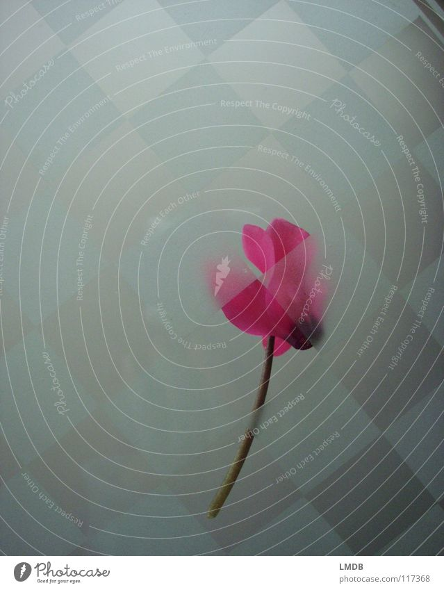 Plant Flower Far-off places Death Cold Blossom Ice Glass Pink Closed Exceptional Mysterious Tile Square Border Freeze