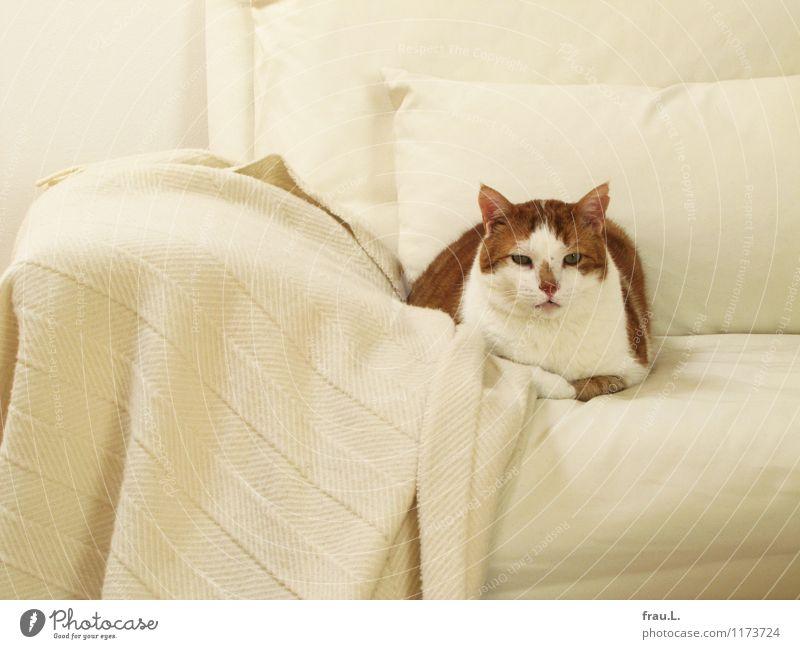 Boring Overweight Meditation Sofa Room Animal Pet Cat 1 Observe Think Wait Fat Love of animals Grouchy Boredom Domestic cat Reddish white Colour photo