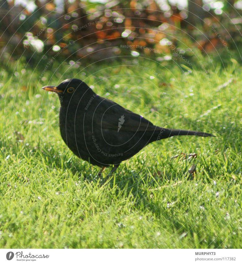 Green Black Eyes Animal Yellow Orange Bird Lawn Feather Beak Blackbird