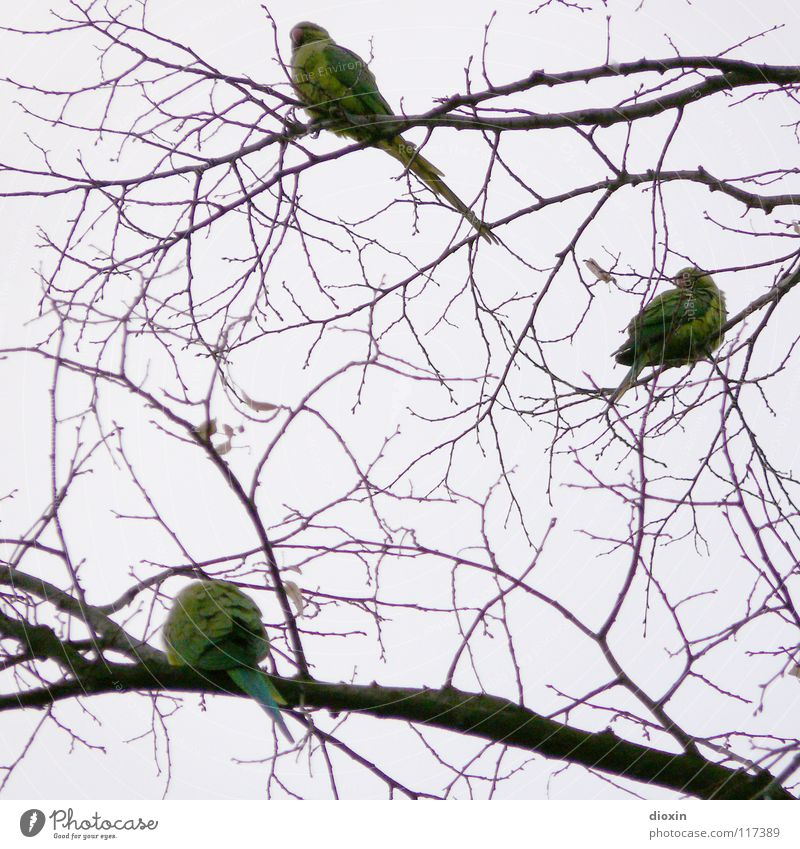 Rhine-Neckar Parakeets #1 Colour photo Subdued colour Evening Freedom Environment Nature Animal Tree Bird Wing 3 Group of animals Animal family Flying Sit Wait