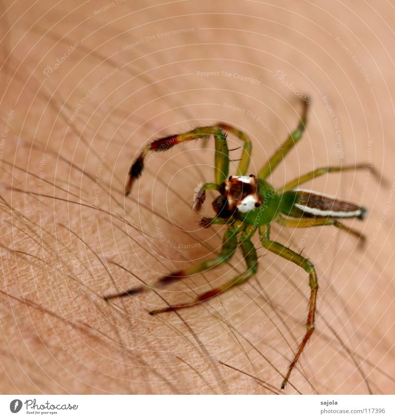 poisonous green Skin Hair and hairstyles Arm Animal Virgin forest Spider Animal face Legs 1 Line Jump Yellow Green White Fear Bilious green Jumping spider