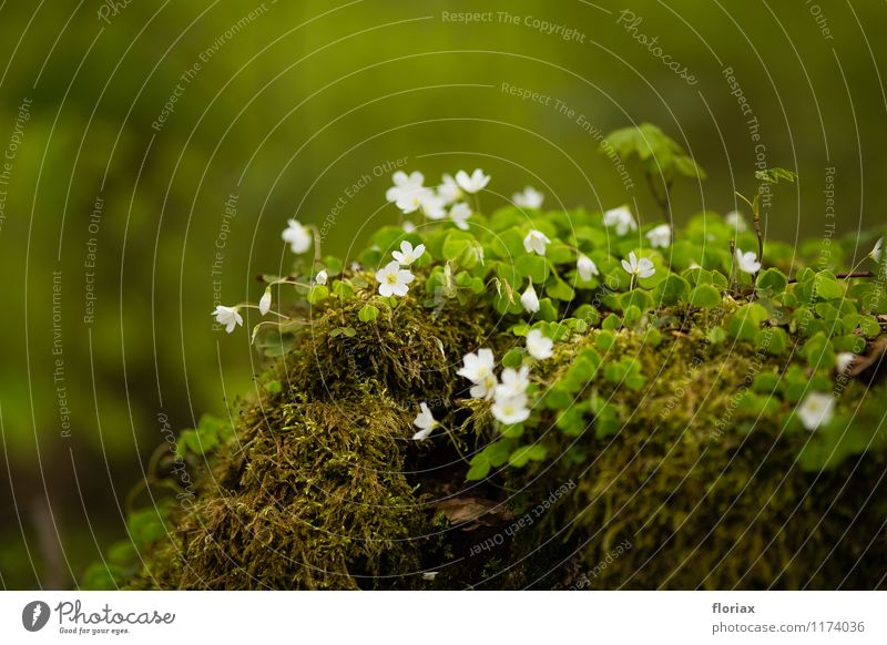 spring flowerlet - wood sorrel Environment Nature Landscape Plant Earth Spring Flower Moss Blossom Wild plant Forest Blossoming Fragrance Growth Esthetic Green