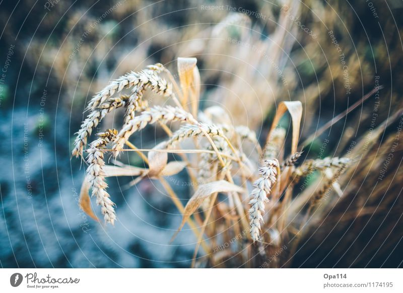 """Wheat I Environment Nature Plant Animal Summer Beautiful weather Agricultural crop Field Blossoming Blue Yellow Gold """"Harvest gear Thorny peak spike Grain"""