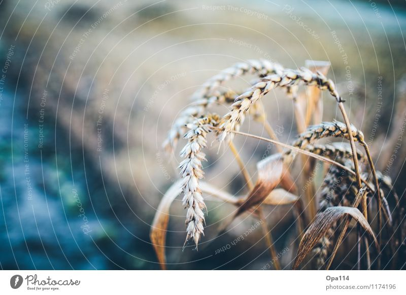 """Wheat II Environment Nature Landscape Plant Animal Summer Weather Beautiful weather Agricultural crop Field Blossoming Growth """"Harvest gear Thorny peak spike"""