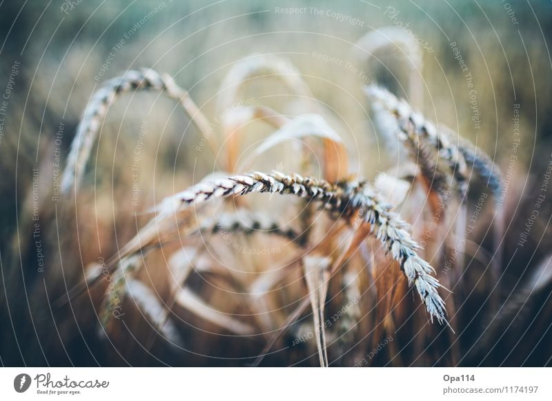 """Wheat III Environment Nature Plant Animal Summer Beautiful weather Agricultural crop Field Blossoming Growth """"Harvest gear Thorny peak spike Grain summer scent"""
