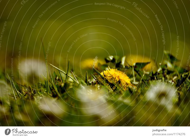 meadow Environment Nature Plant Spring Summer Grass Blossom Wild plant Garden Park Meadow Growth Small Natural Yellow Green Dandelion Colour photo Exterior shot