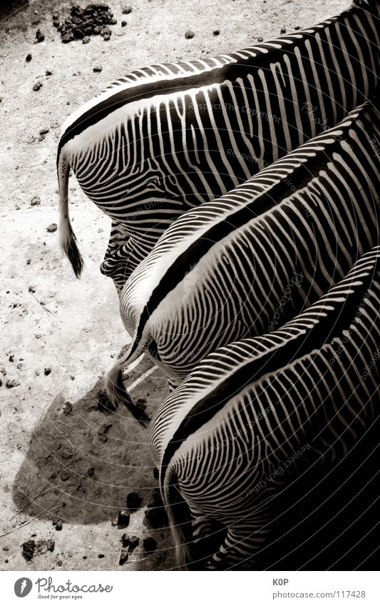 Zebras from behind Zoo 3 Animal Mammal Black & white photo Hind quarters