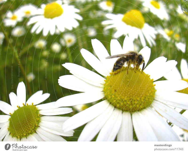 symbiosis Bee Honey Fertilization Transport Flower Blossom pollination yellow/white Dandelion