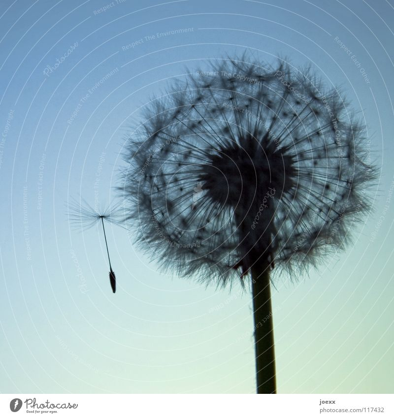 Sky Summer Style Blossom Spring Going Aviation Round Stalk Dandelion Easy Seed Hover Outsider Flower Disperse