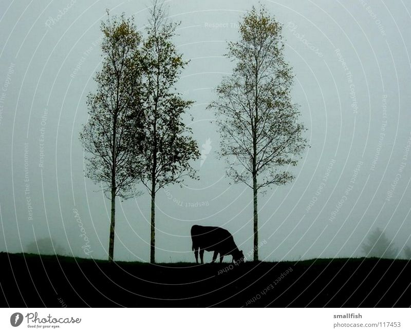 Cow in the pasture Tree Dark Loneliness Fog Eerie Mammal Pasture Contrast