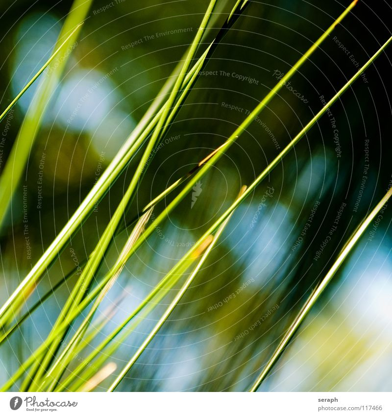 Cane Common Reed Reeds Habitat Juncus Blossom Blossoming Flower Grass Blade of grass Plant Nature Herbs and spices wag Environment reed Sweet grass spiral
