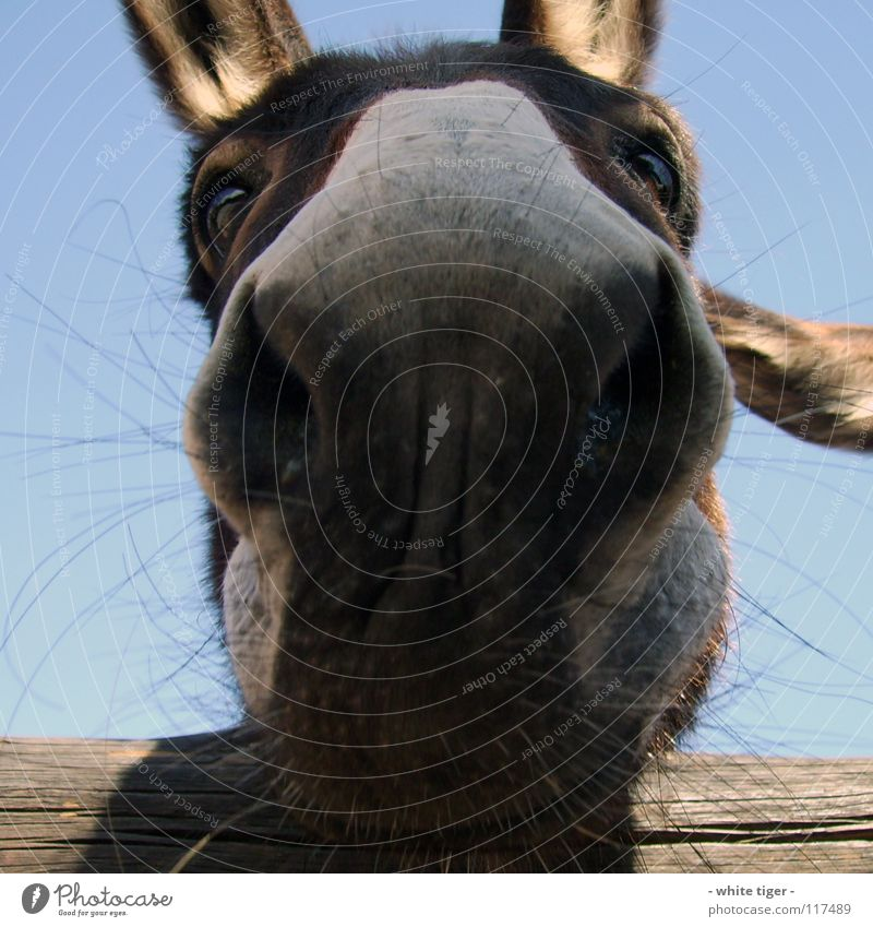 Blue Animal Eyes Gray Funny Brown Nose Exceptional Near Whimsical Odor Muzzle Donkey Nostrils Nasal hair