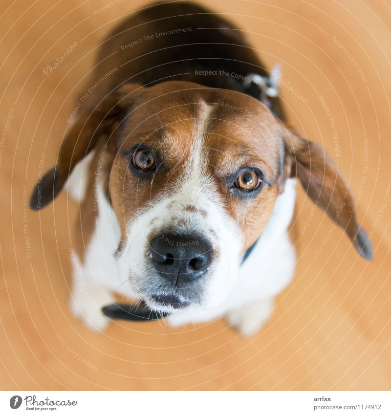Beagle dog looking at camera Animal Pet Dog 1 Sit Cute Brown Delightful alert animal themes attentive beagle breed Breed brown and white square doggy Domestic