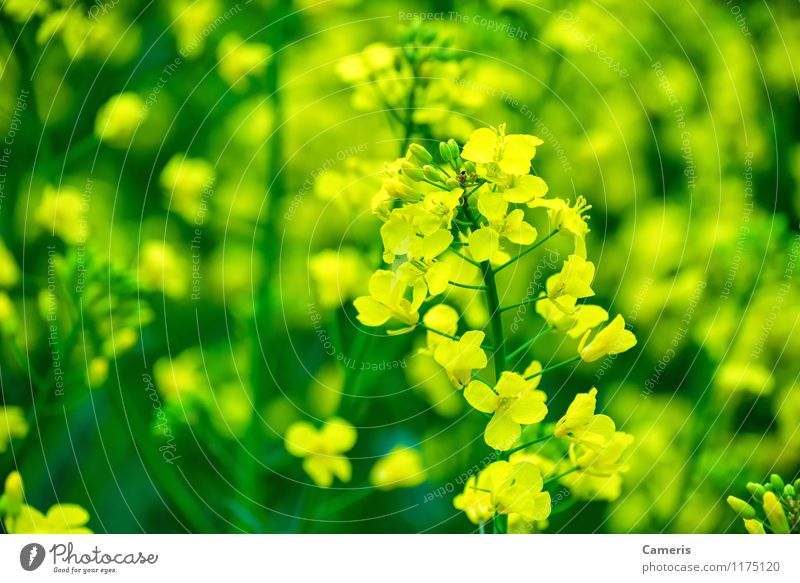 rapeseed Environment Nature Plant Flower Leaf Blossom Agricultural crop Canola Canola field Oilseed rape oil Oilseed rape cultivation Oilseed rape flower Field